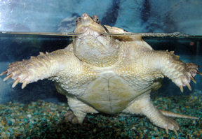 snapping-turtle2