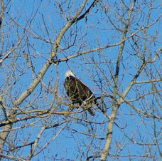 rma-eagle-in-tree1