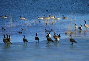 rma-geese