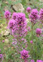 asdm-purple-flowers