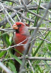 asdm-red-bird