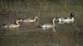 bda-ducks