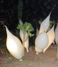 white-radishes-night-r