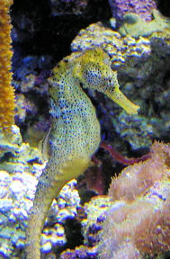 seahorse-from-pd-photoorg