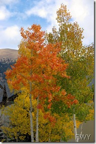 Aspen Trees 08