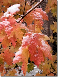 Maples with Snow