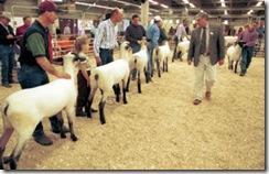 NWSS - Sheep Judging