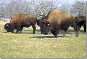 Woolaroc Bison