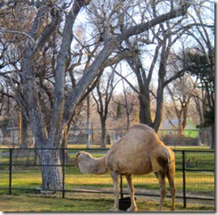 Garden City Zoo - Camel