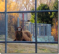 Garden City Zoo - Two-Hump Camel