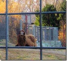 Garden City Zoo - Two-Hump Camel