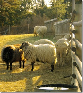 Littleton Museum Sheep