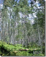 Aspen on Kebler Pass