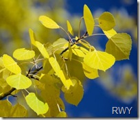 Yellow Aspen Twig[1]