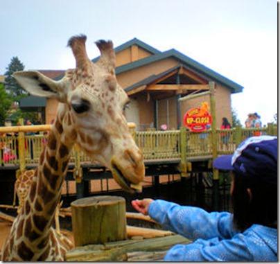 Feeding Giraffe 2 - B
