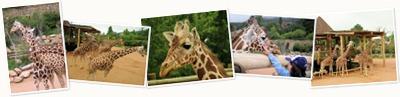 View Giraffes - CMZ