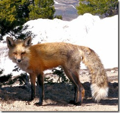 Eric's Fox - B