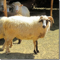 Golandrinas Sheep - B
