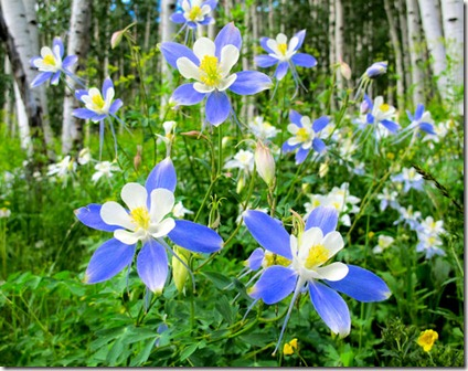 Eric's Field of Columbines - B