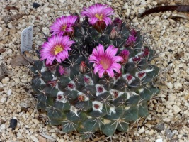 BTA - Cactus Bloom Pink