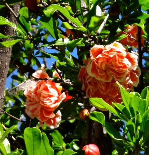 Pomagranate in Bloom