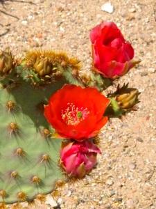 Red Cactus Bloom