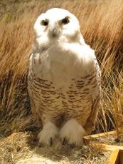 NGVC - Owl