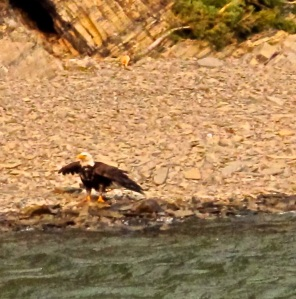 Eagle on Waterton Lake