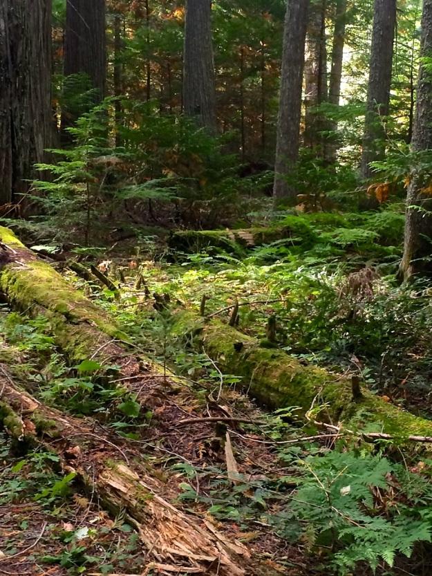 Ferns & Logs 0 Trail of Cedars