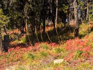 Garnet, MT Foliage
