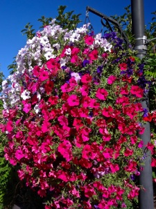 Vernal Hanging Basket