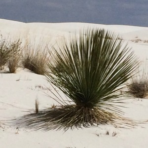 White Sand Yucca